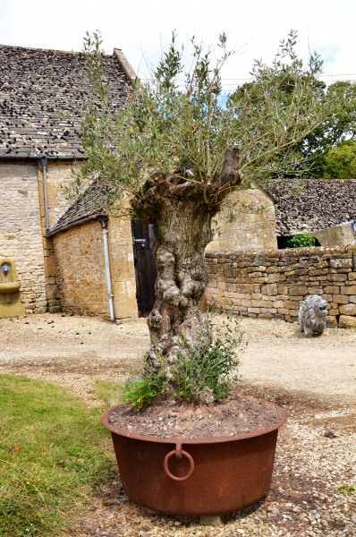 A 19th century iron planter with olive tree